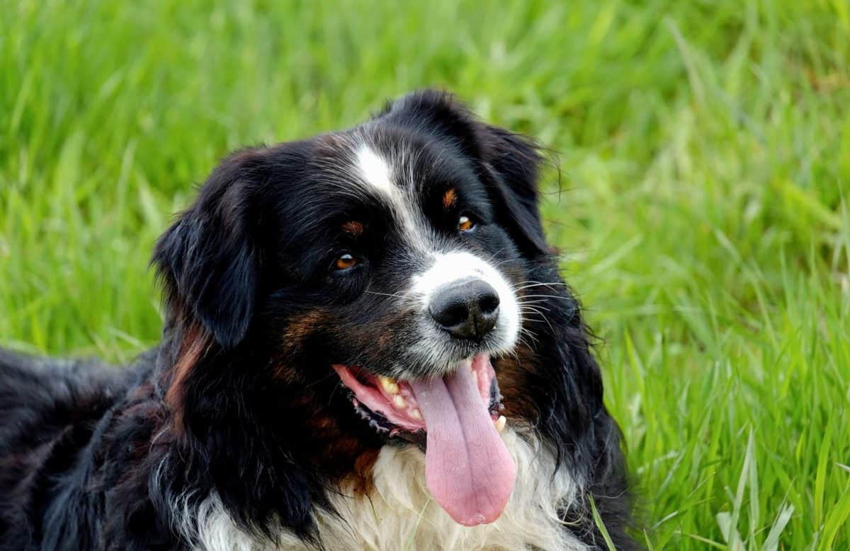 chien border collie herbe