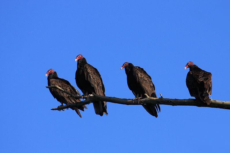 oiseaux urubus