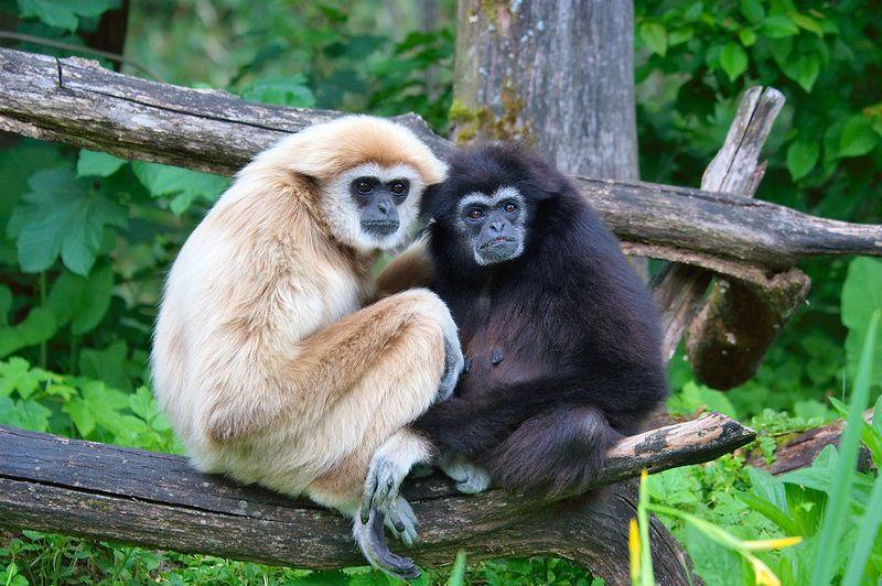 gibbon singes