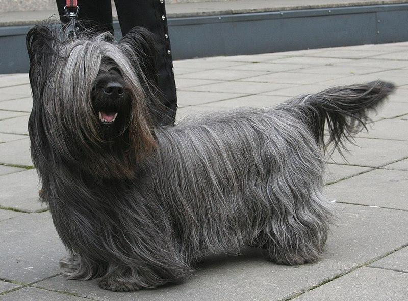 chien Skye terrier