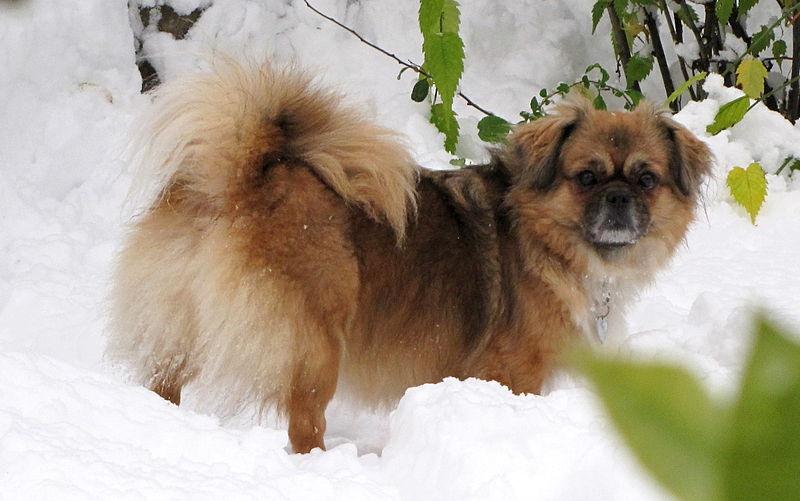 chien Épagneul Tibétain
