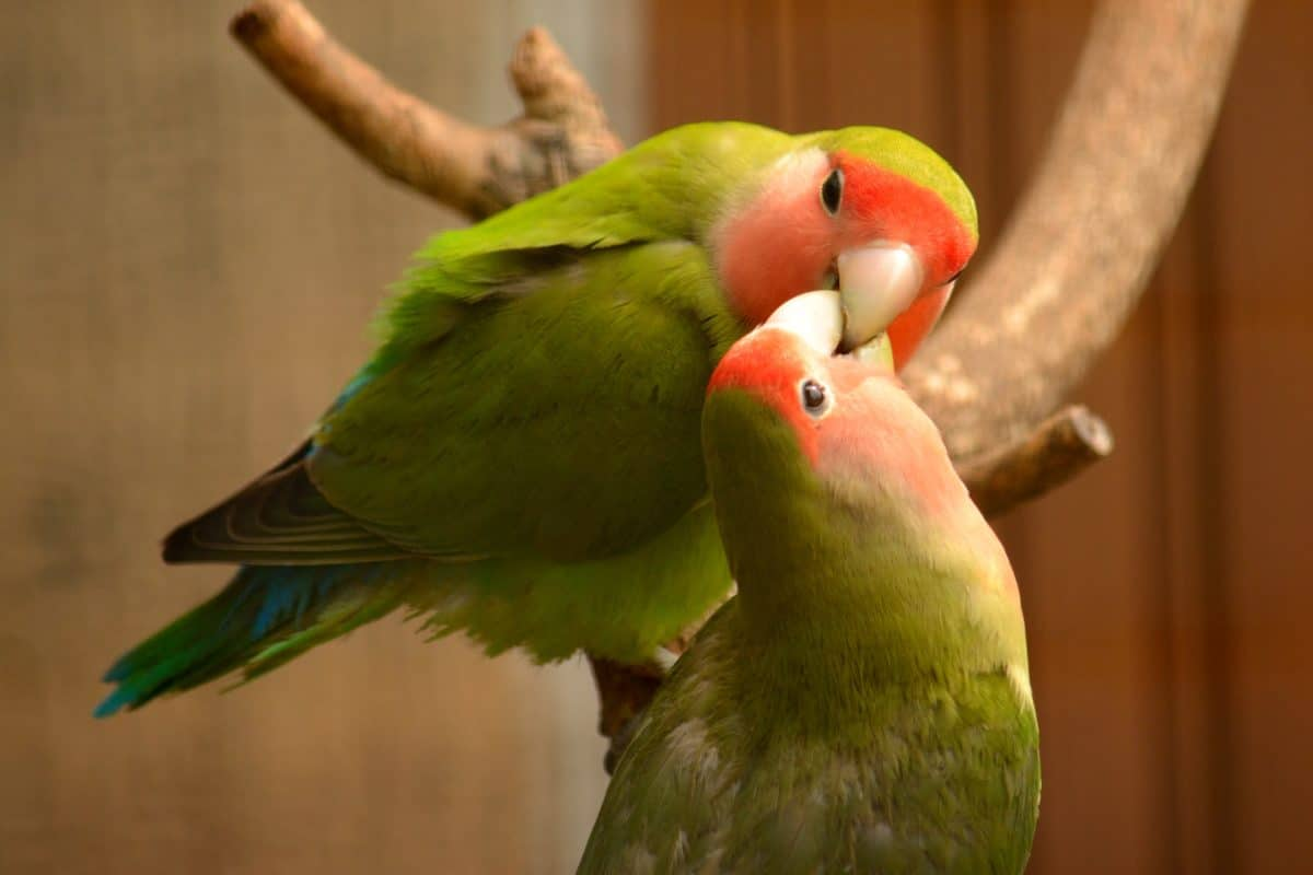 inséparables oiseaux