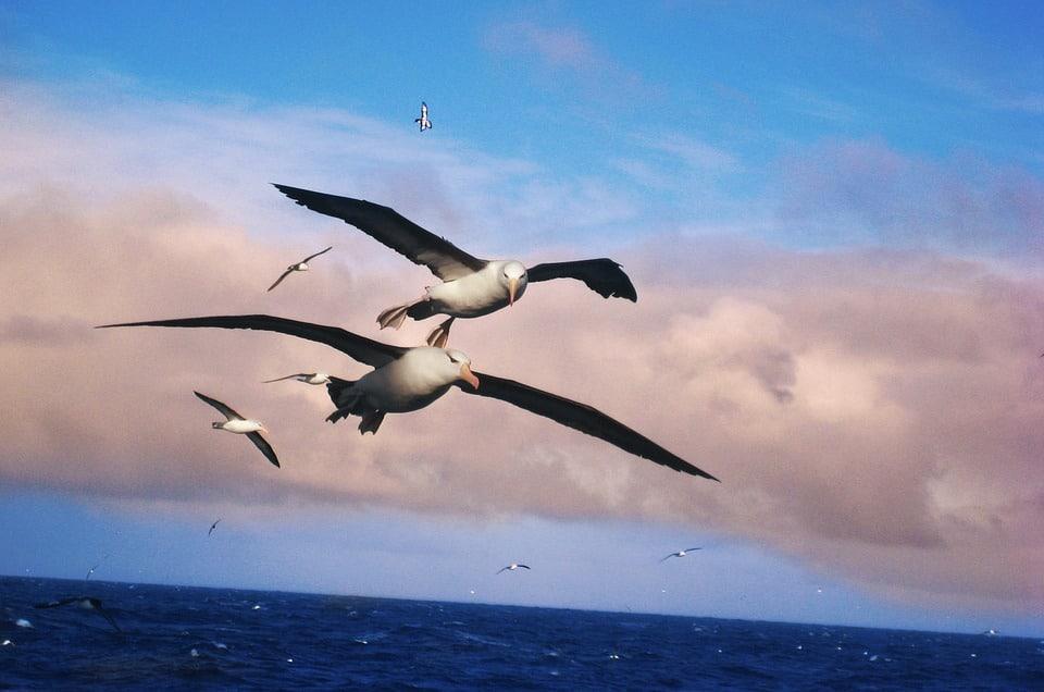albatros oiseaux