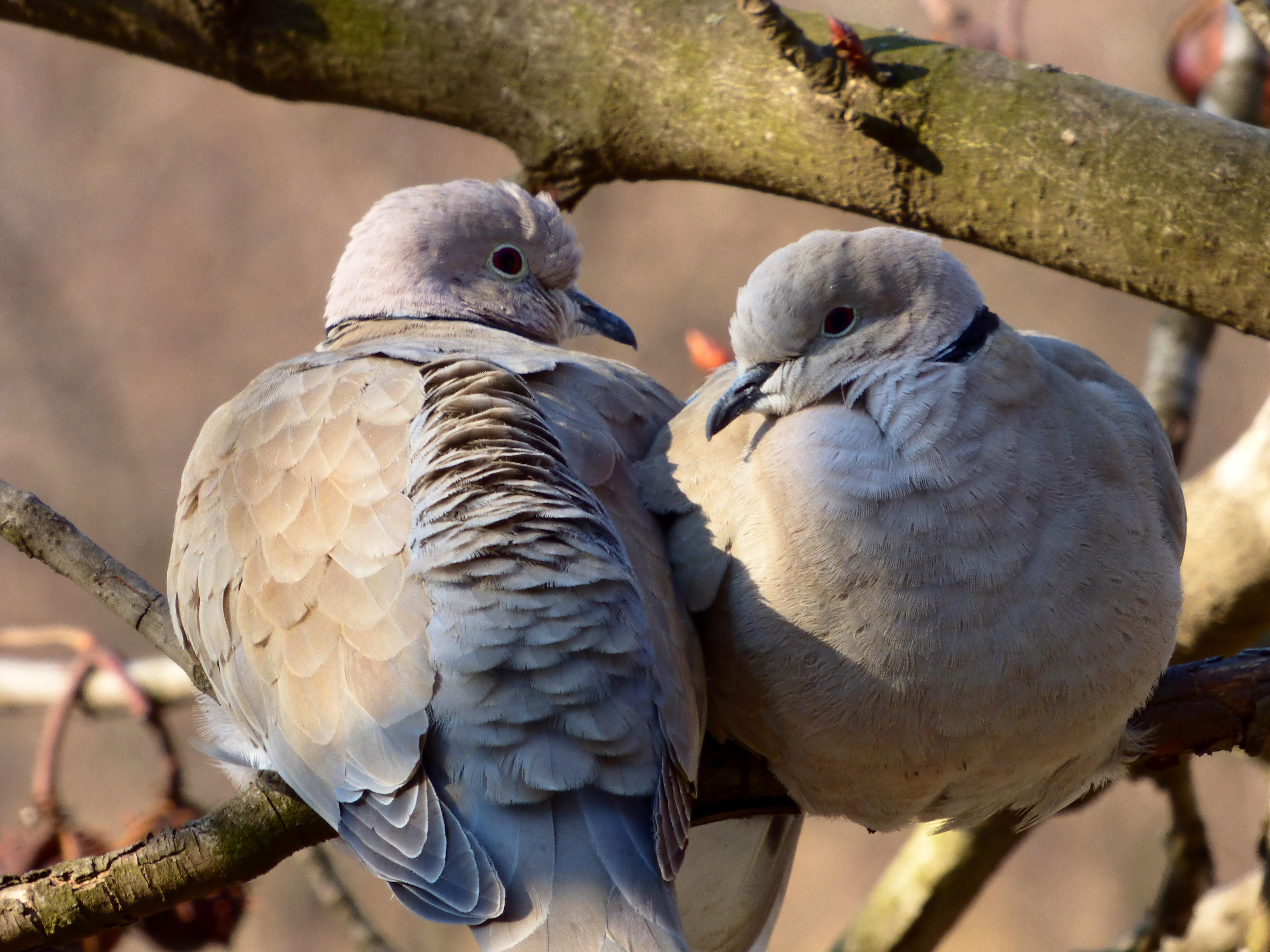 oiseaux tourterelles