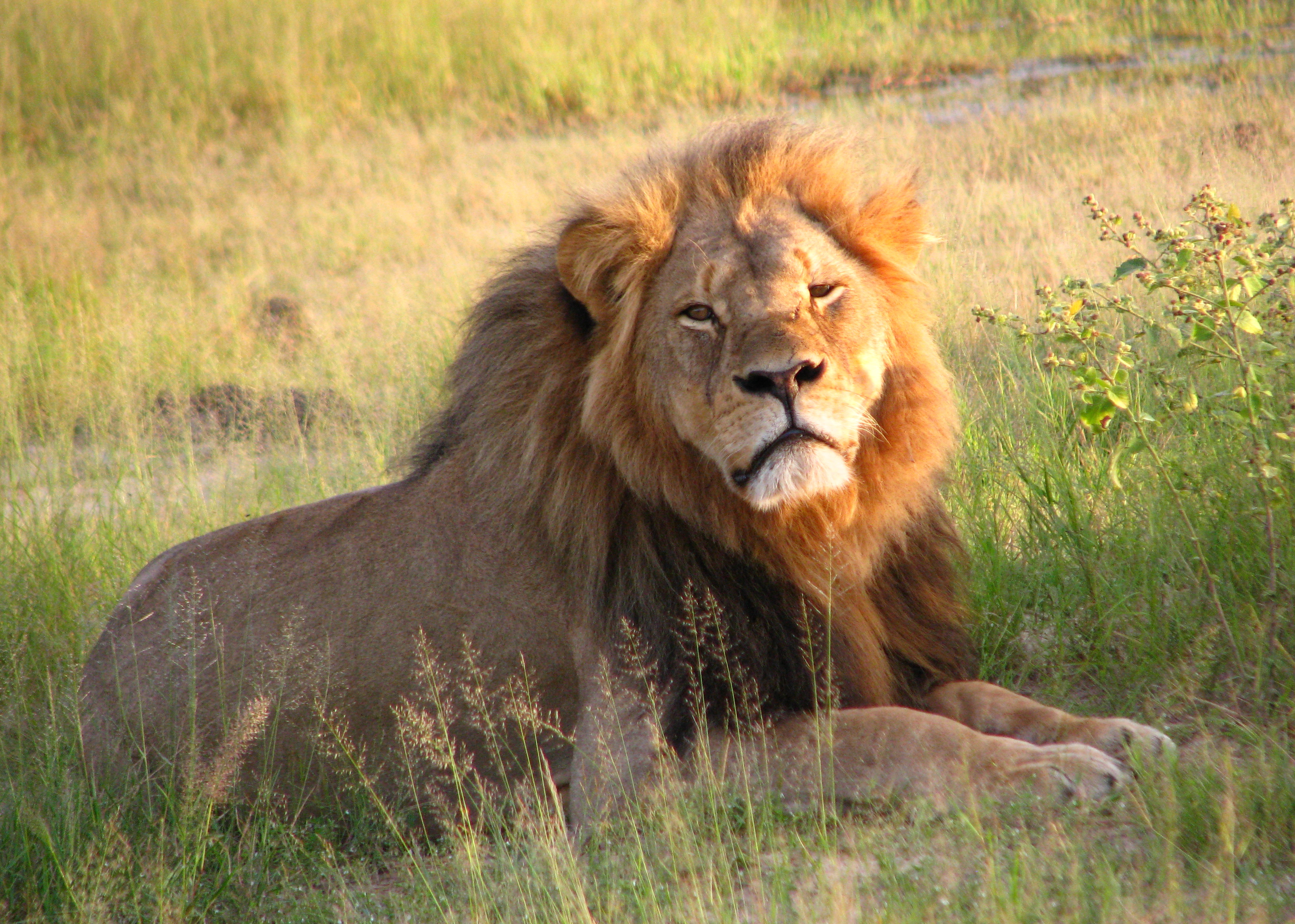 lion allongé dans l'herbe