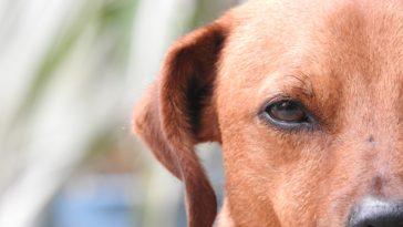 chien tête marron