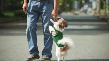chien saute jambes