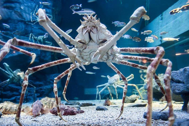 crabe araignée du japon