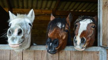 chevaux box