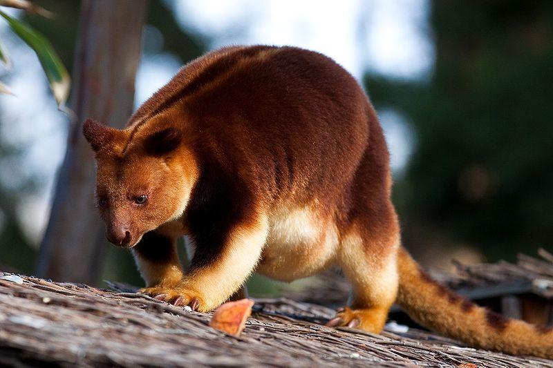 kangourou arboricole dendrolague