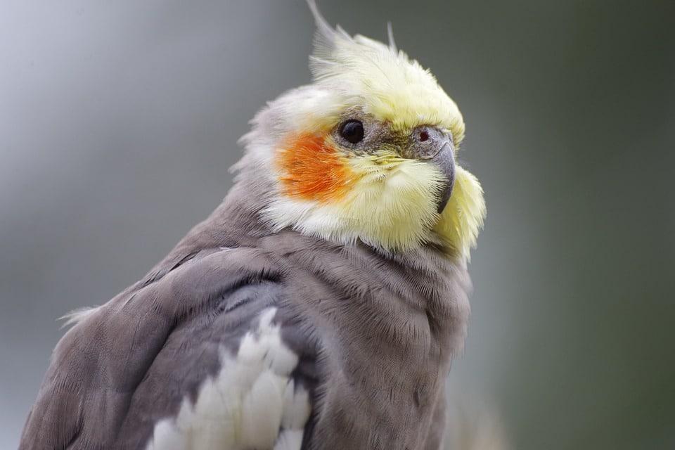 oiseau perruche calopsitte