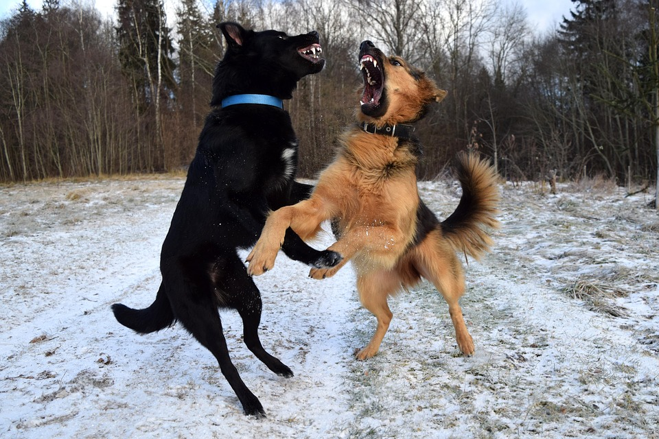 chiens bagarre