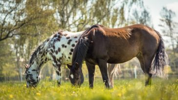 chevaux appaloosa