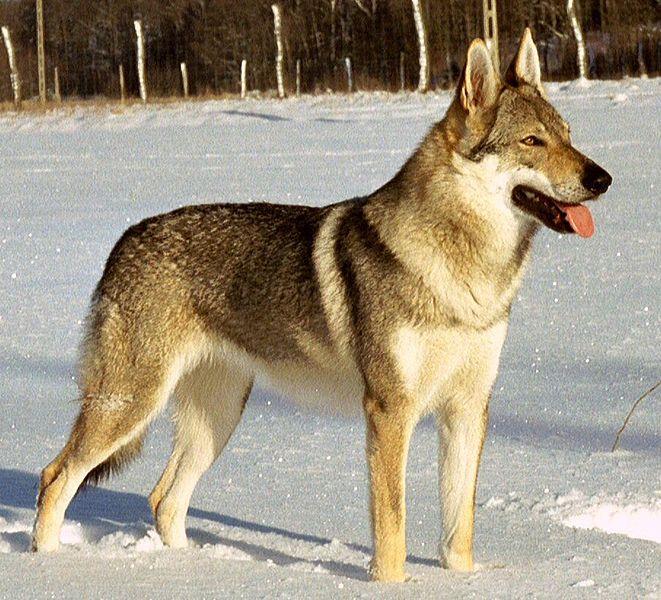 chien-loup tchèque