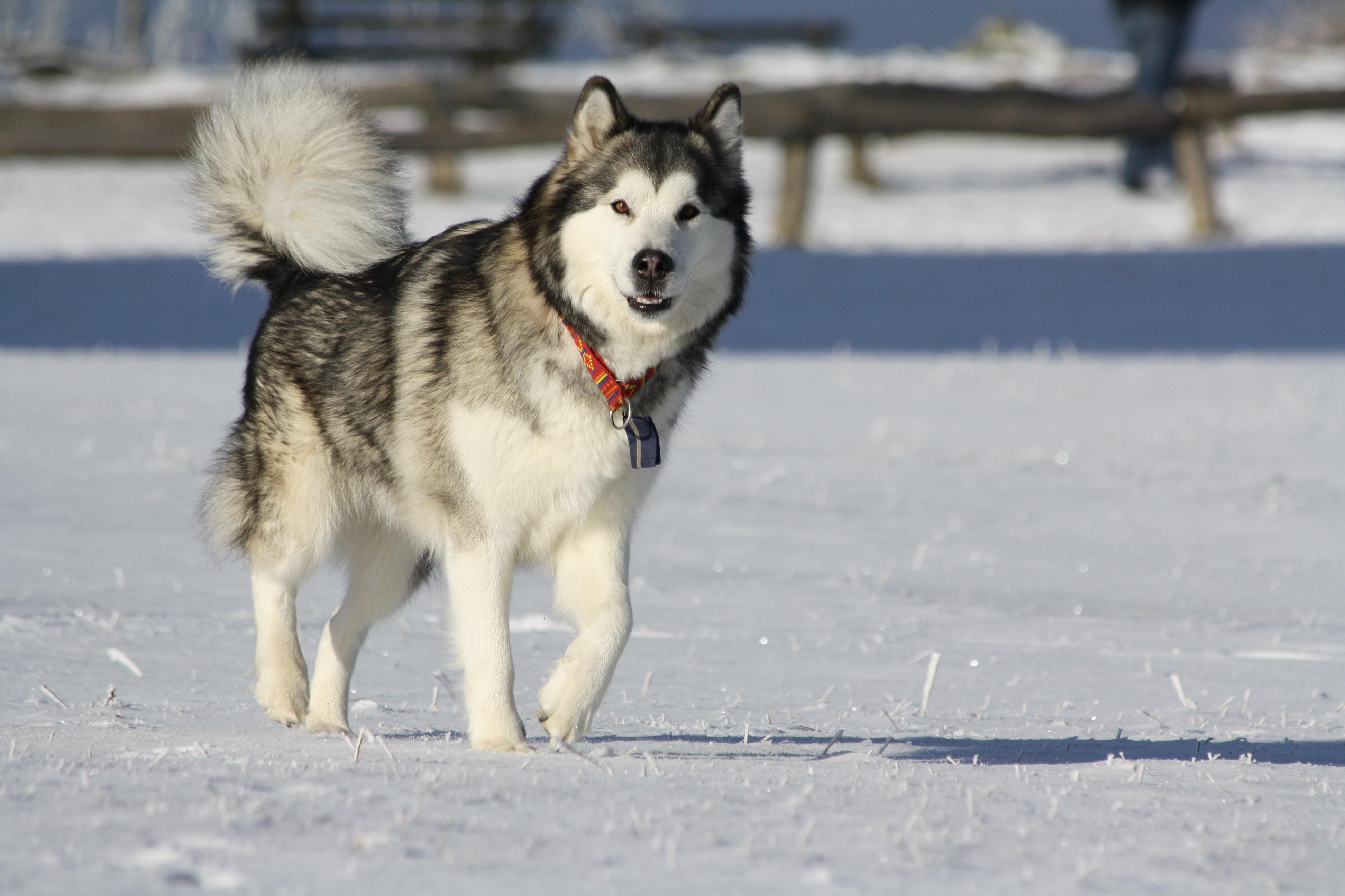 chien malamute