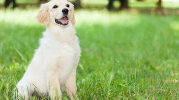chien labrador assis