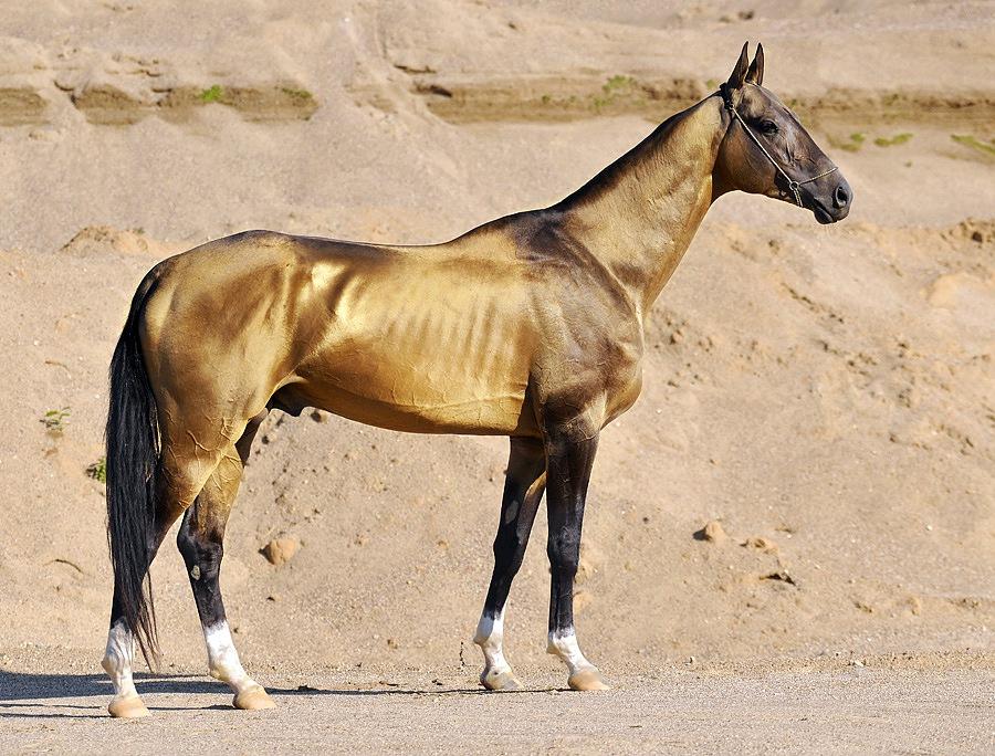 cheval Akhal Teke