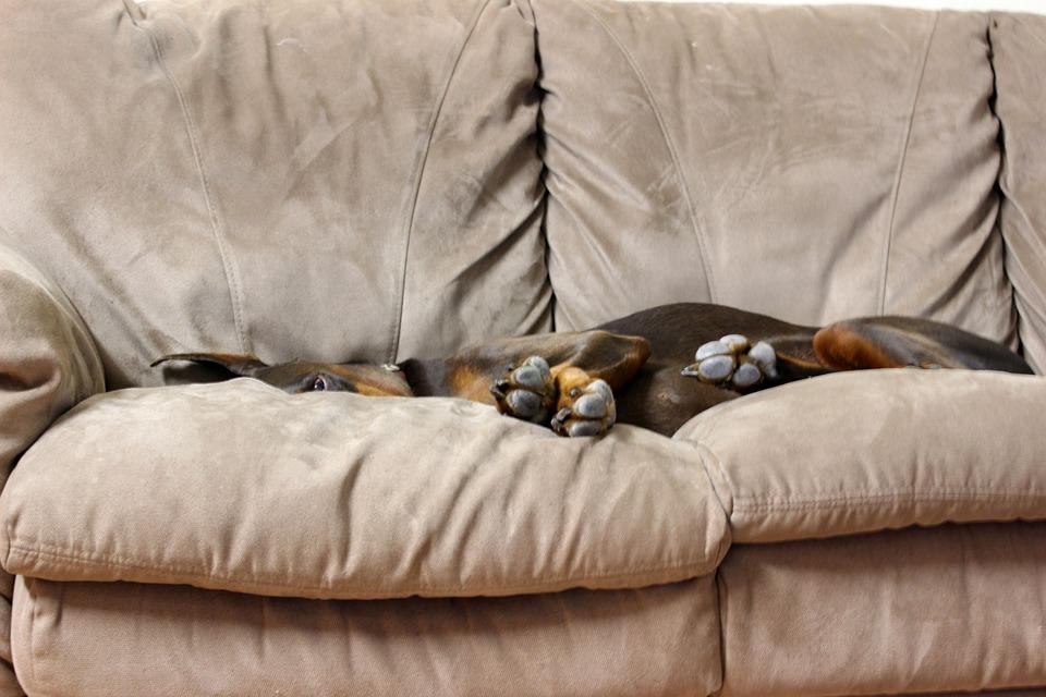 chien canapé