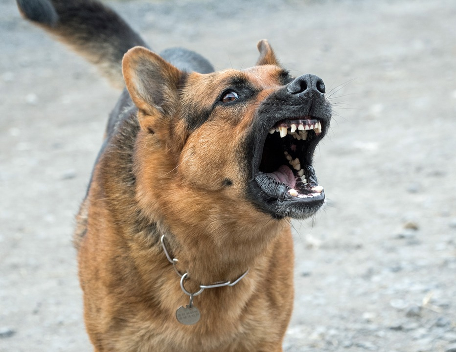 Chien berger allemand agressif aboie