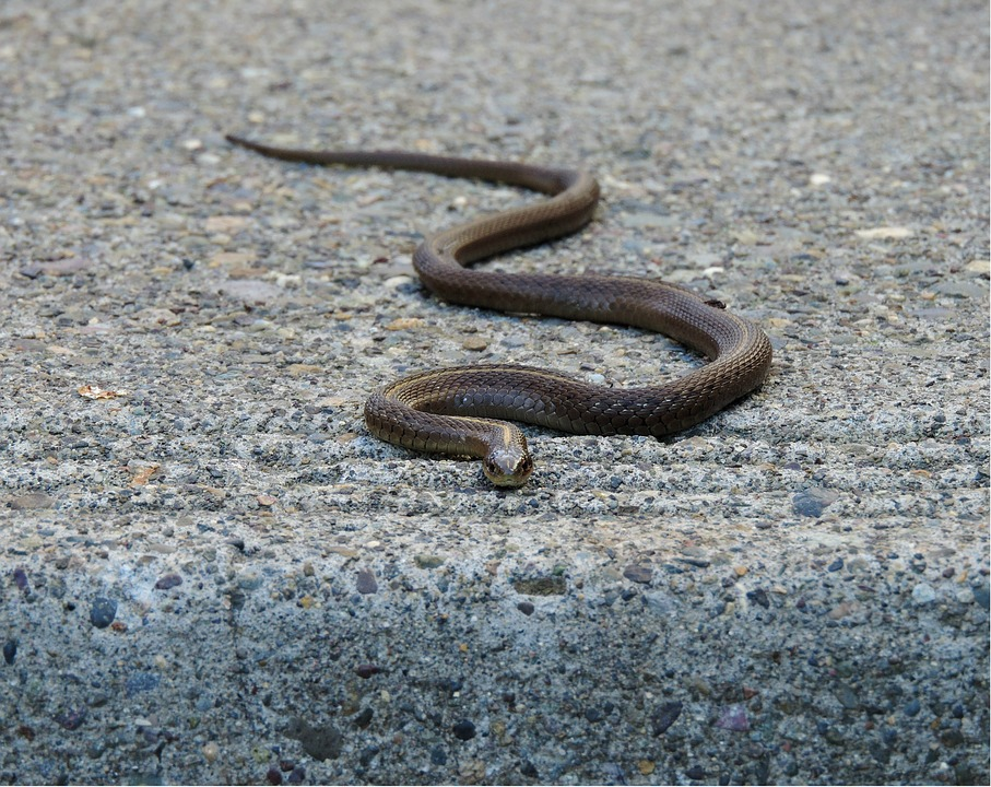 serpent des maisons