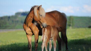 cheval poulain