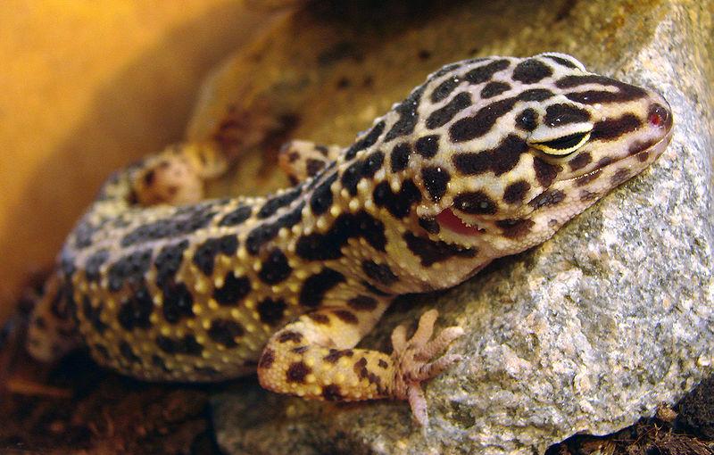 gecko léopard