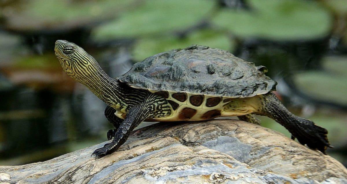 tortue ocadia sinensis