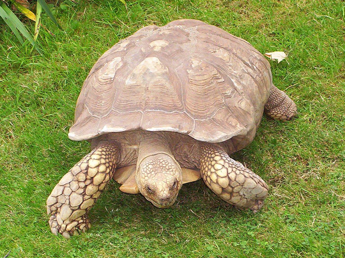 tortue Centrochelys sulcata