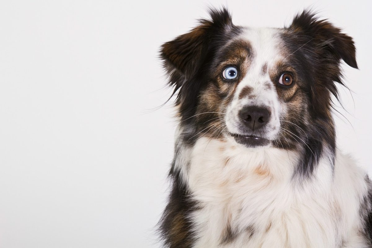 chien berger australien