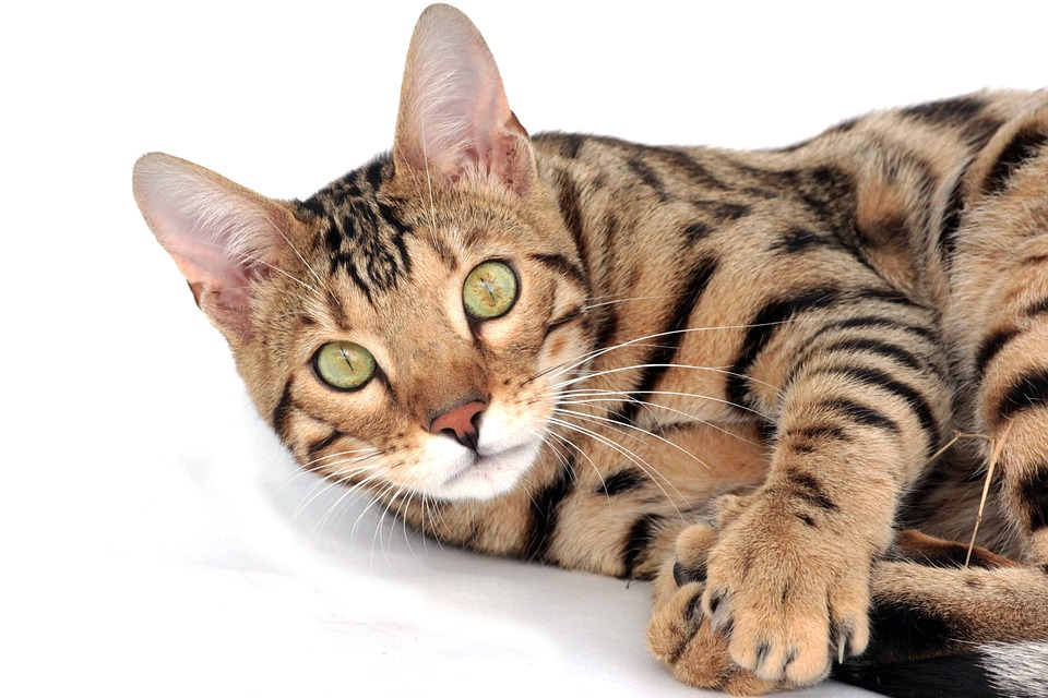 chat bengal