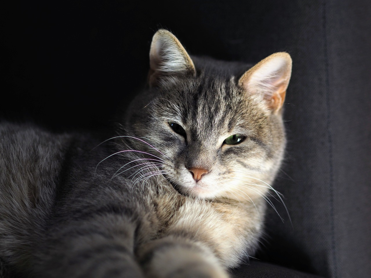 chat gris s'étire