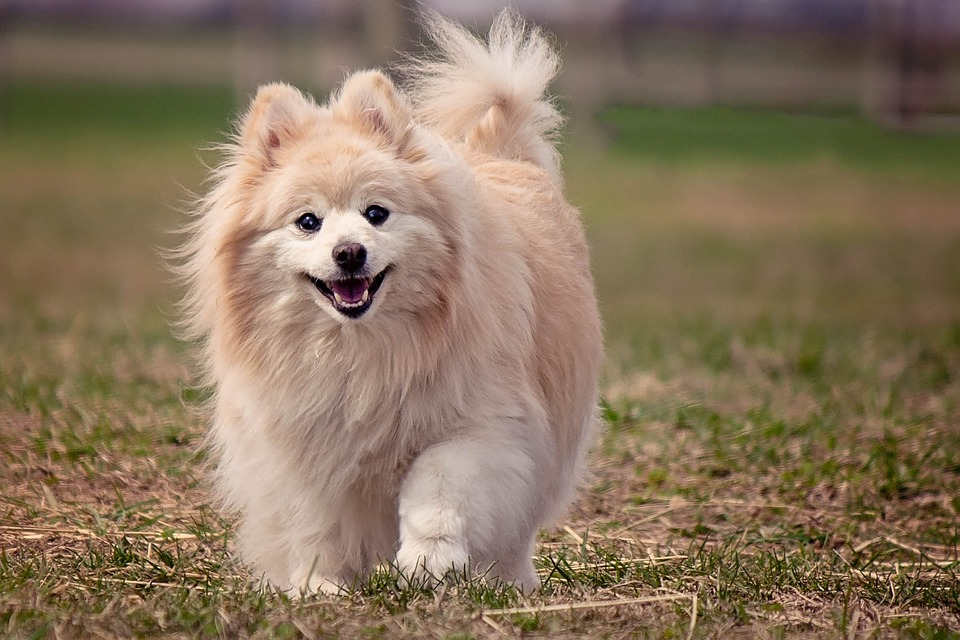 chien spitz allemand