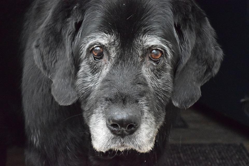 chien vieux