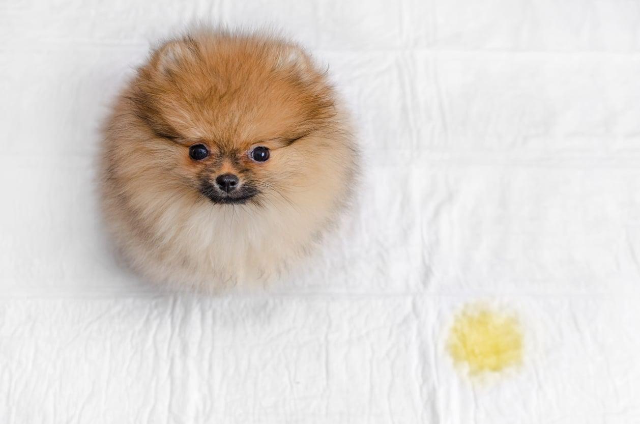 chien pipi lit
