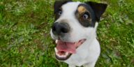 chien jack russell heureux