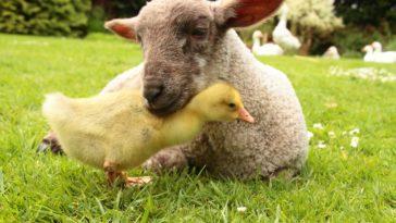 mouton poussin