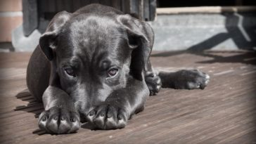 chien noir couché
