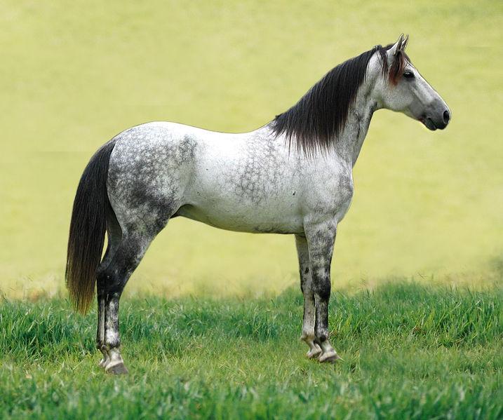 cheval rouan