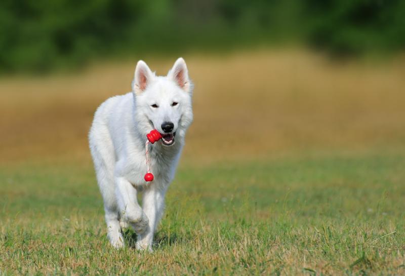 chien berger blanc suisse
