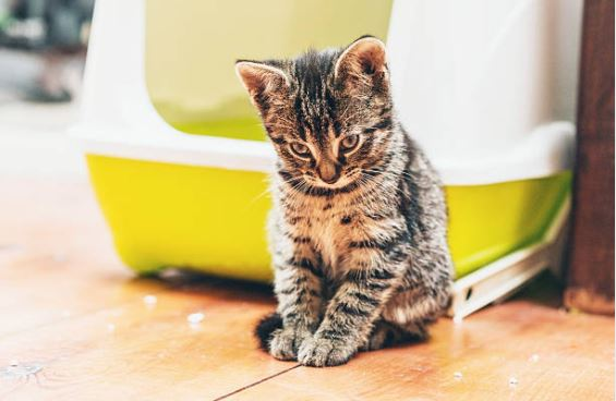chaton litière