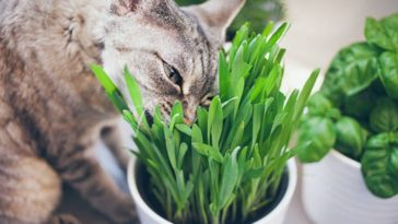 chat mange herbe plante