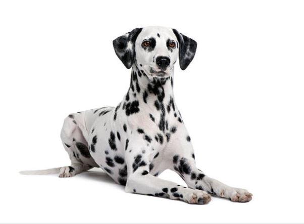 chien dalmatien