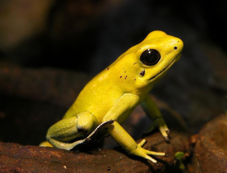 grenouille à dard doré