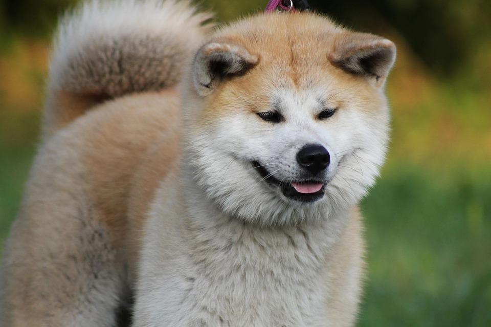 chien akita inu