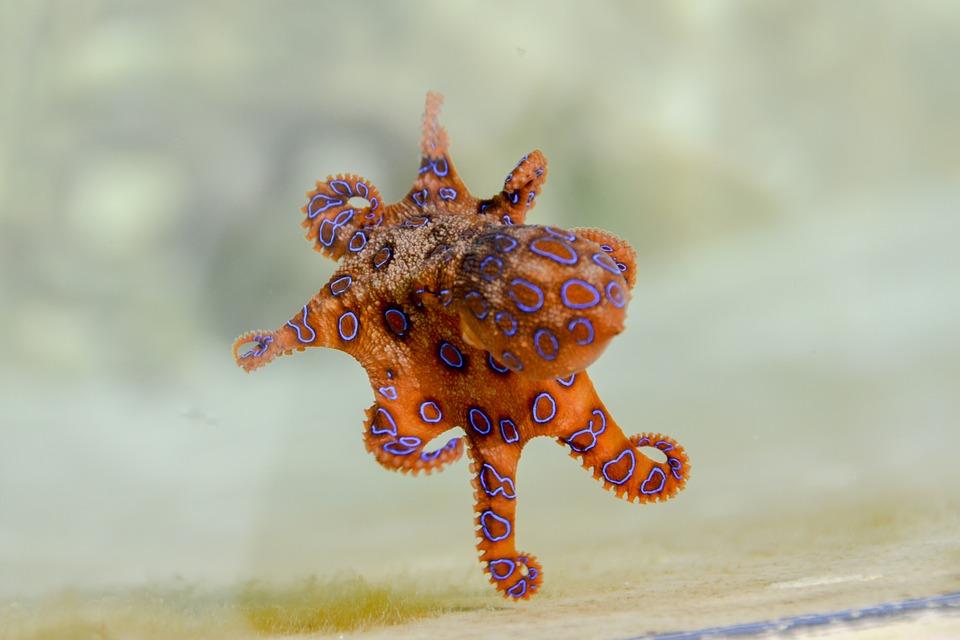 pieuvre à anneaux bleus