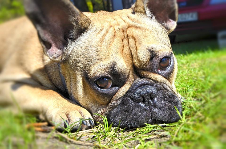 chien bouledogue