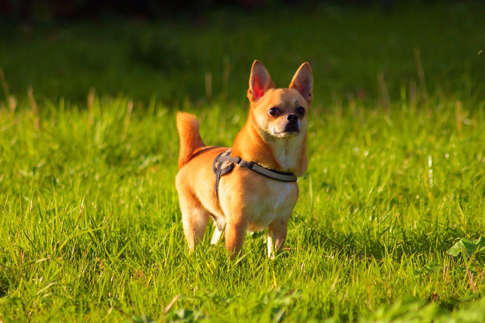 chien chihuahua