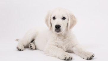 chiot chien golden retriever couché