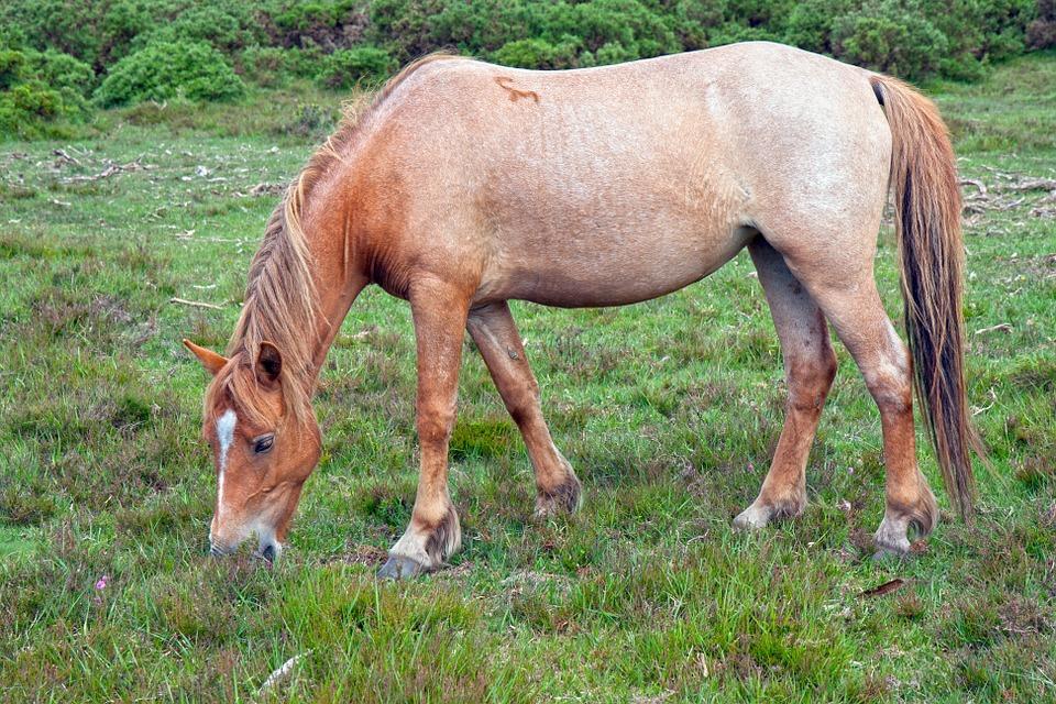 cheval aubère