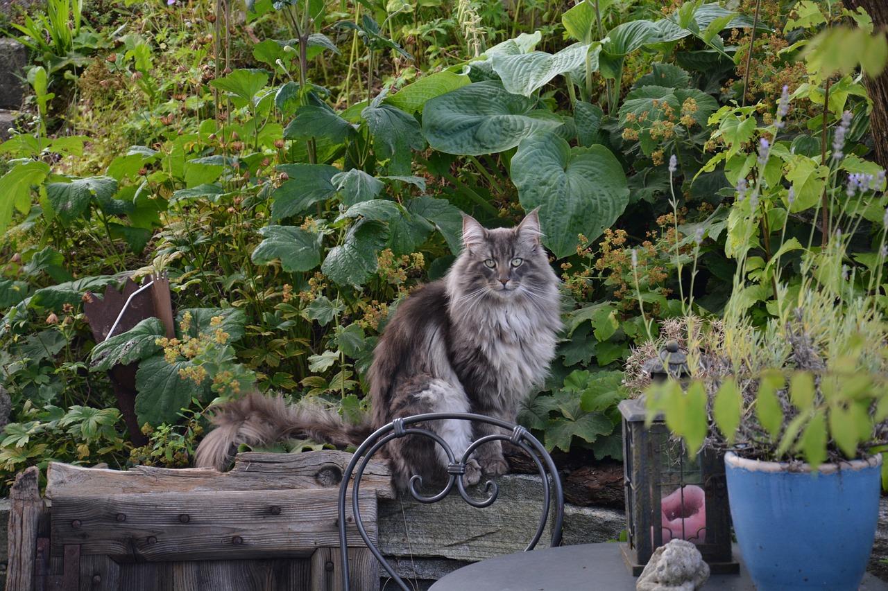 chat norvégien